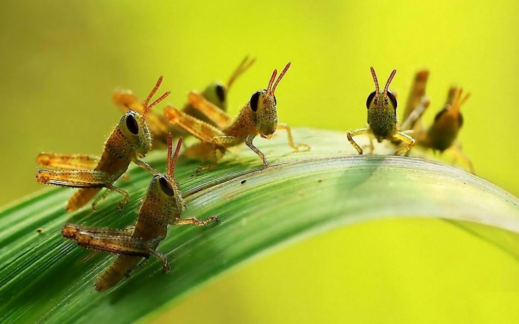 Grasshoppers children