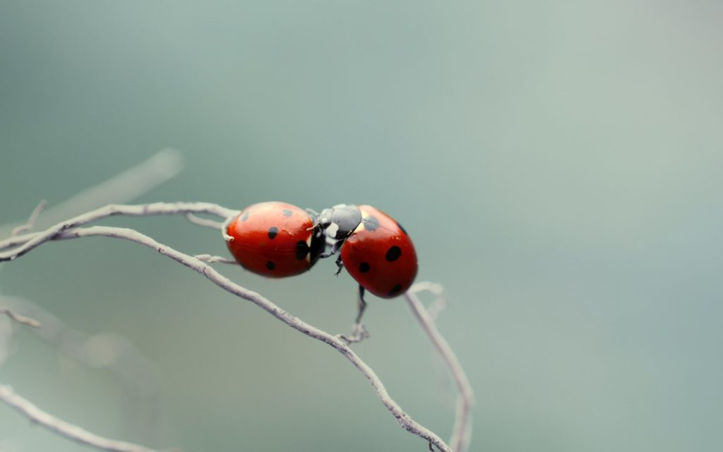 Kiss of ladybirds