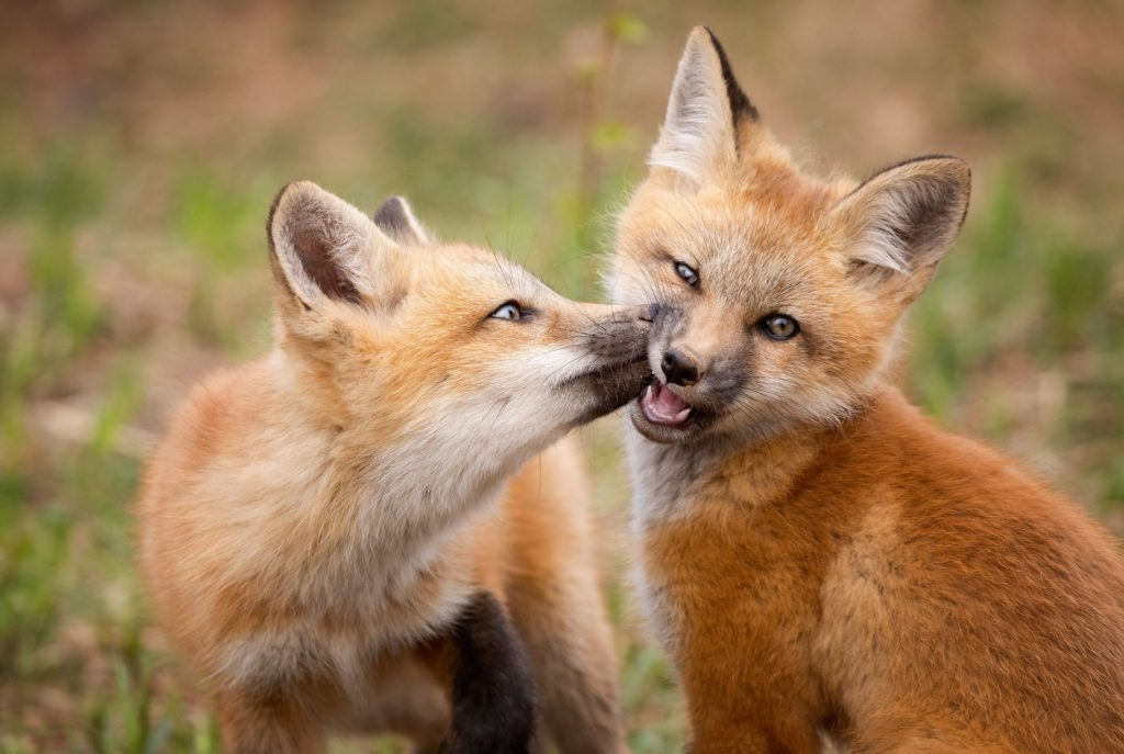 Fox kissing