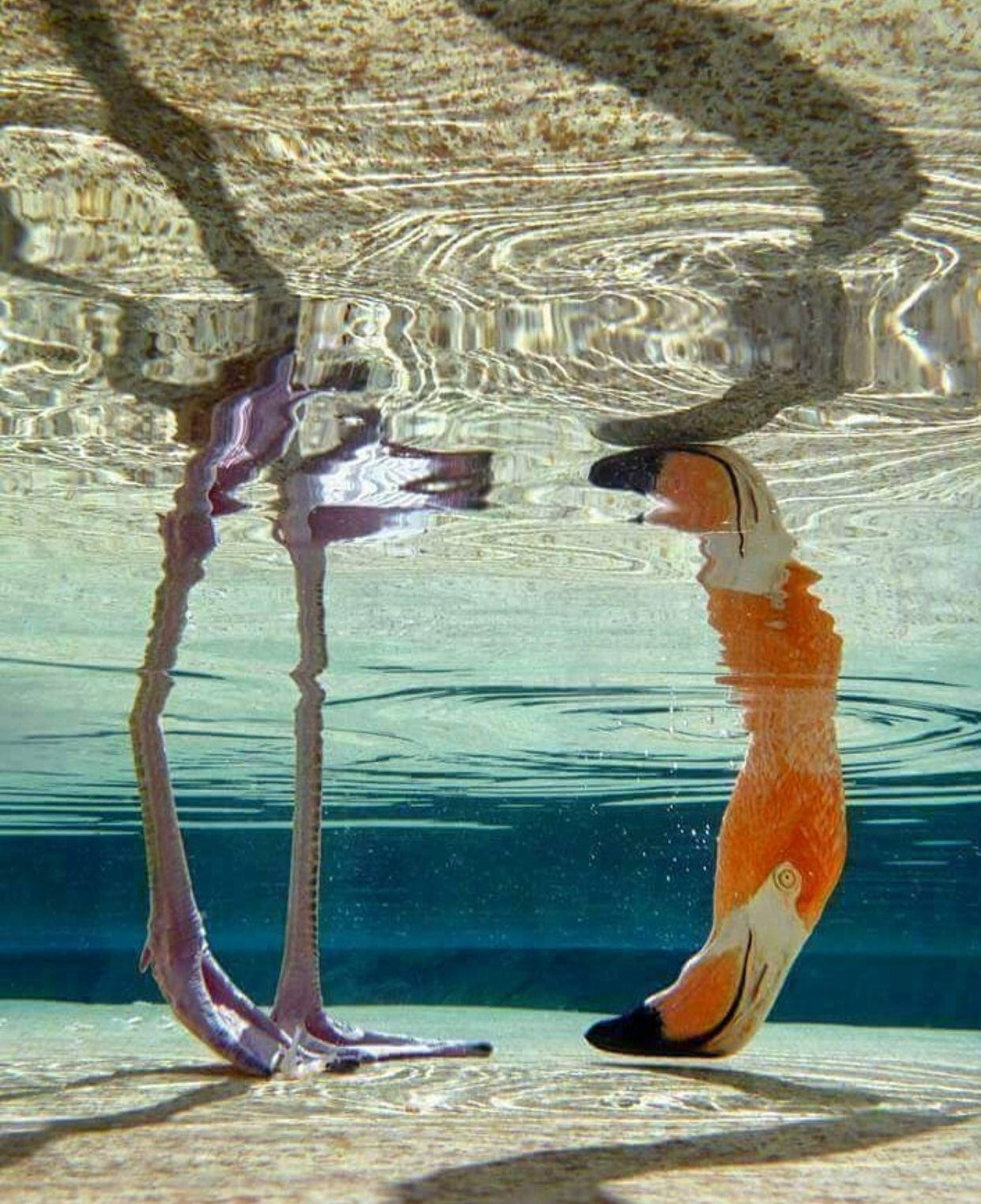 Flamingo underwater