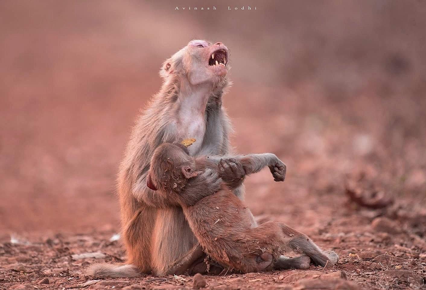 Despair of a monkey mom, Jabalpur, India