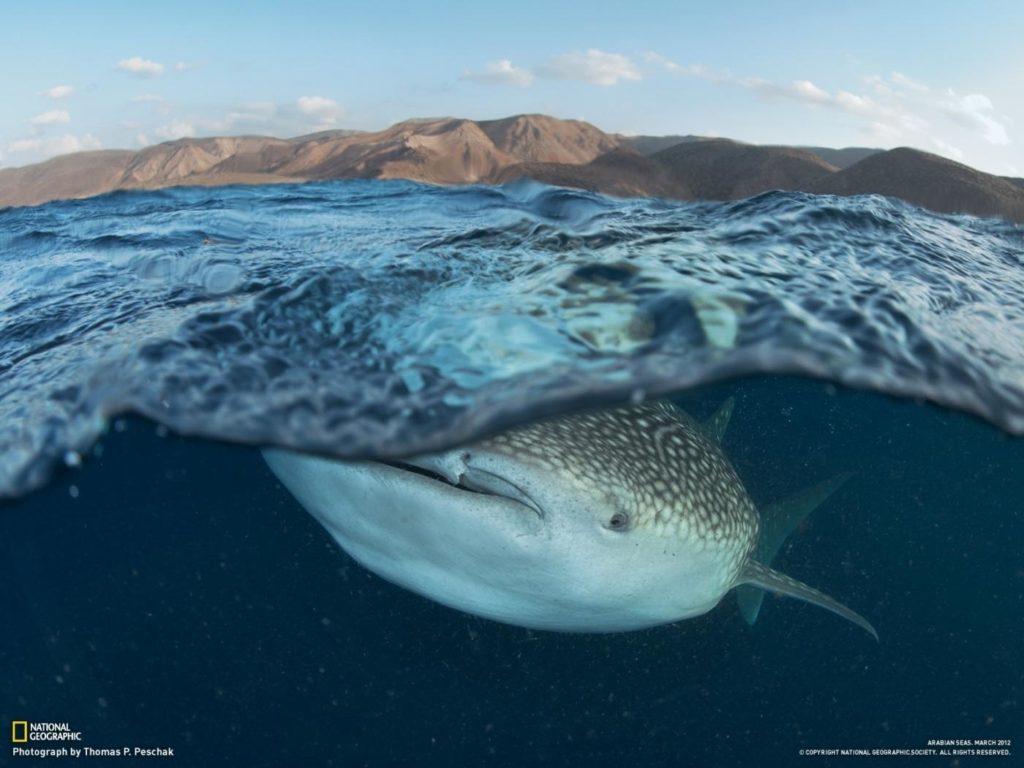 Whale shark eats plankton, Djibouti