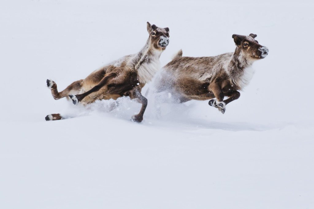 Deers in snow