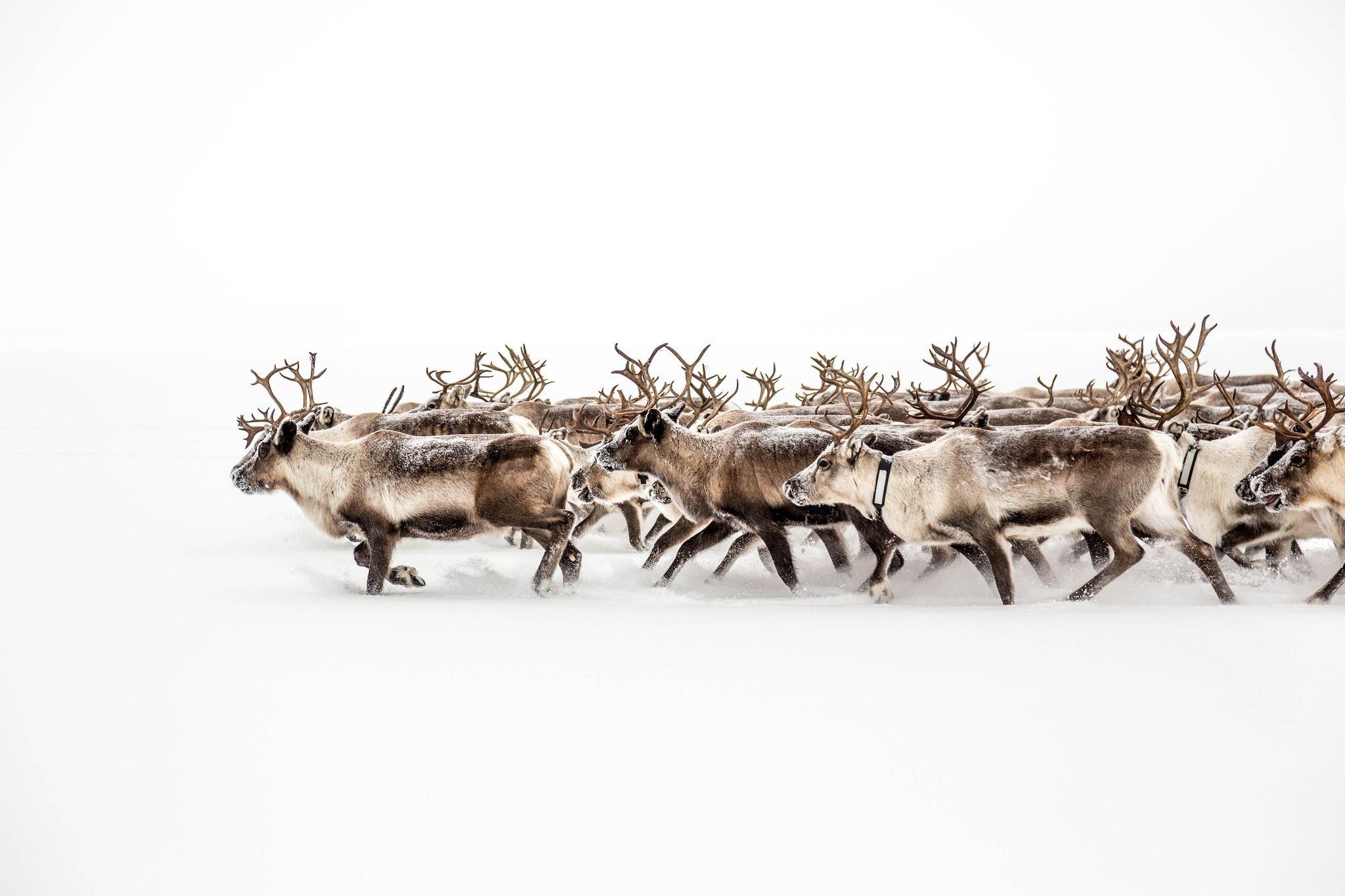 Deers in snow