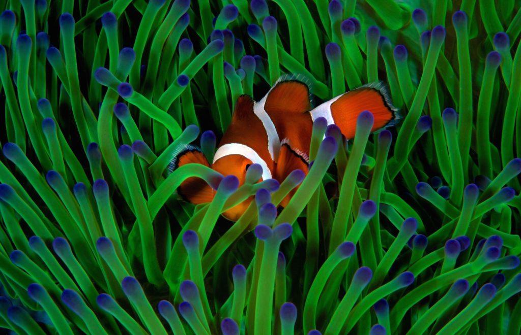 Fish in anemones