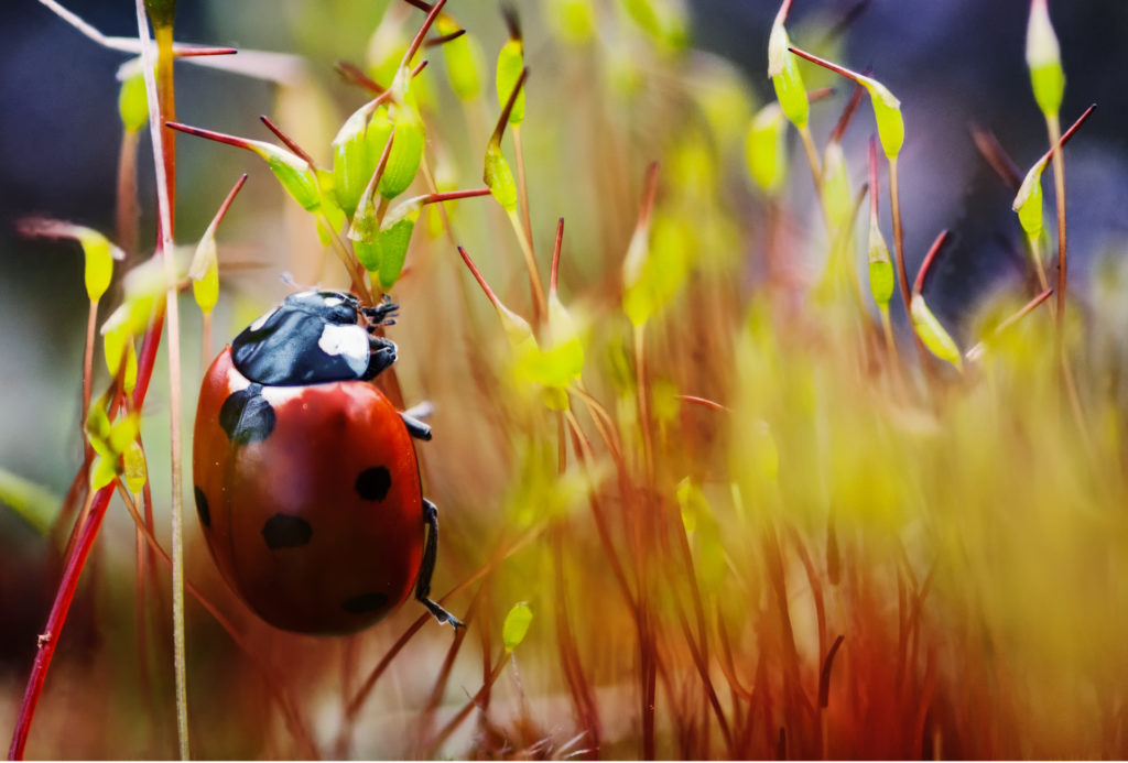 Ladybird in fiery verdure