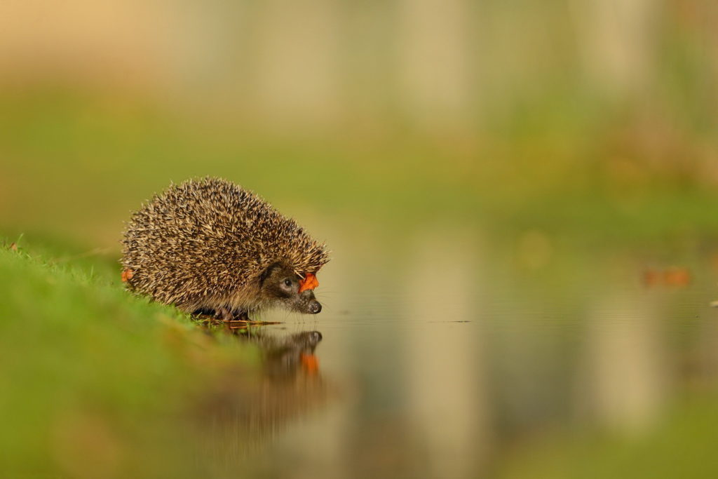 Hedgehog at the water