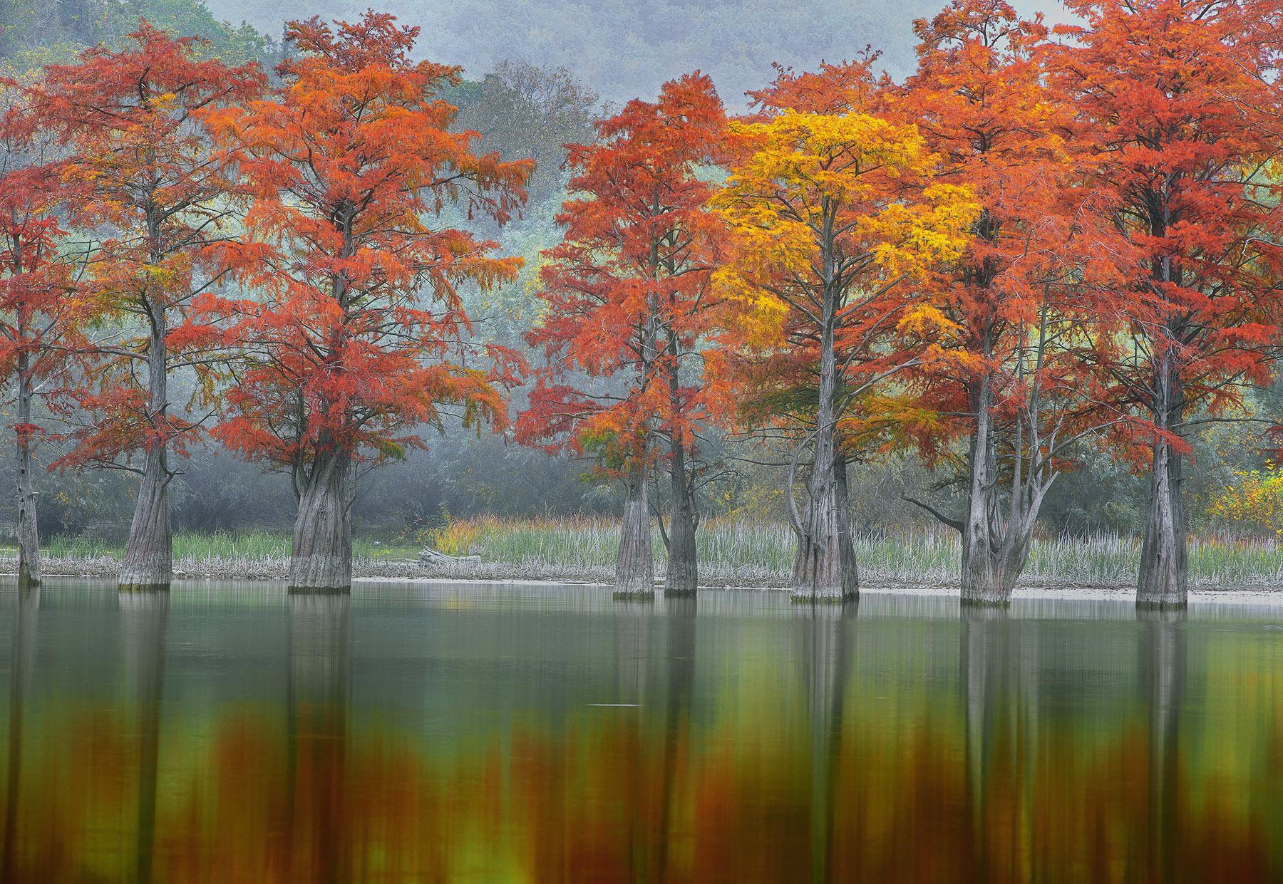Cypress trees mangrove