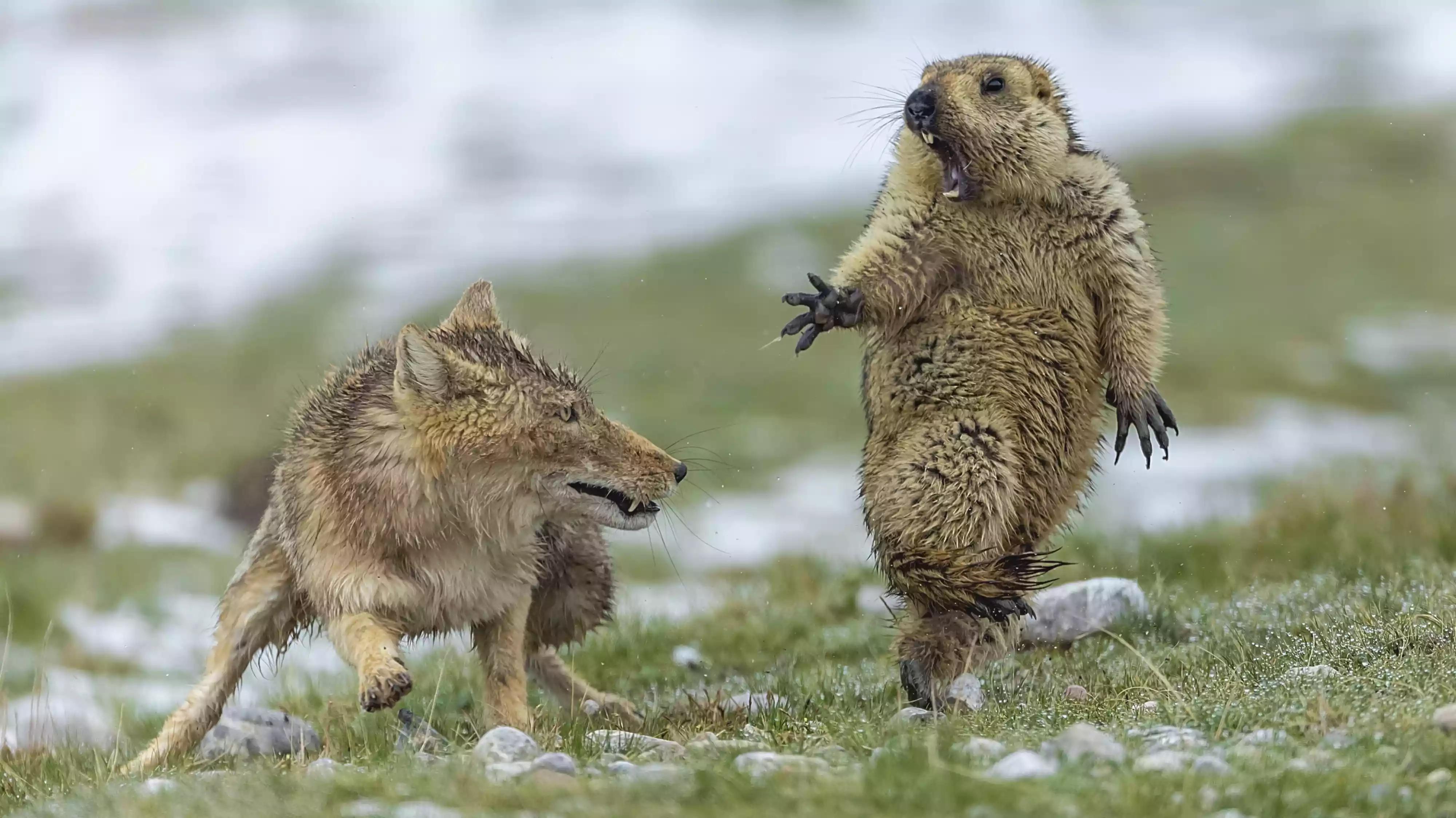 Fox surprising a marmot, Tibet, China