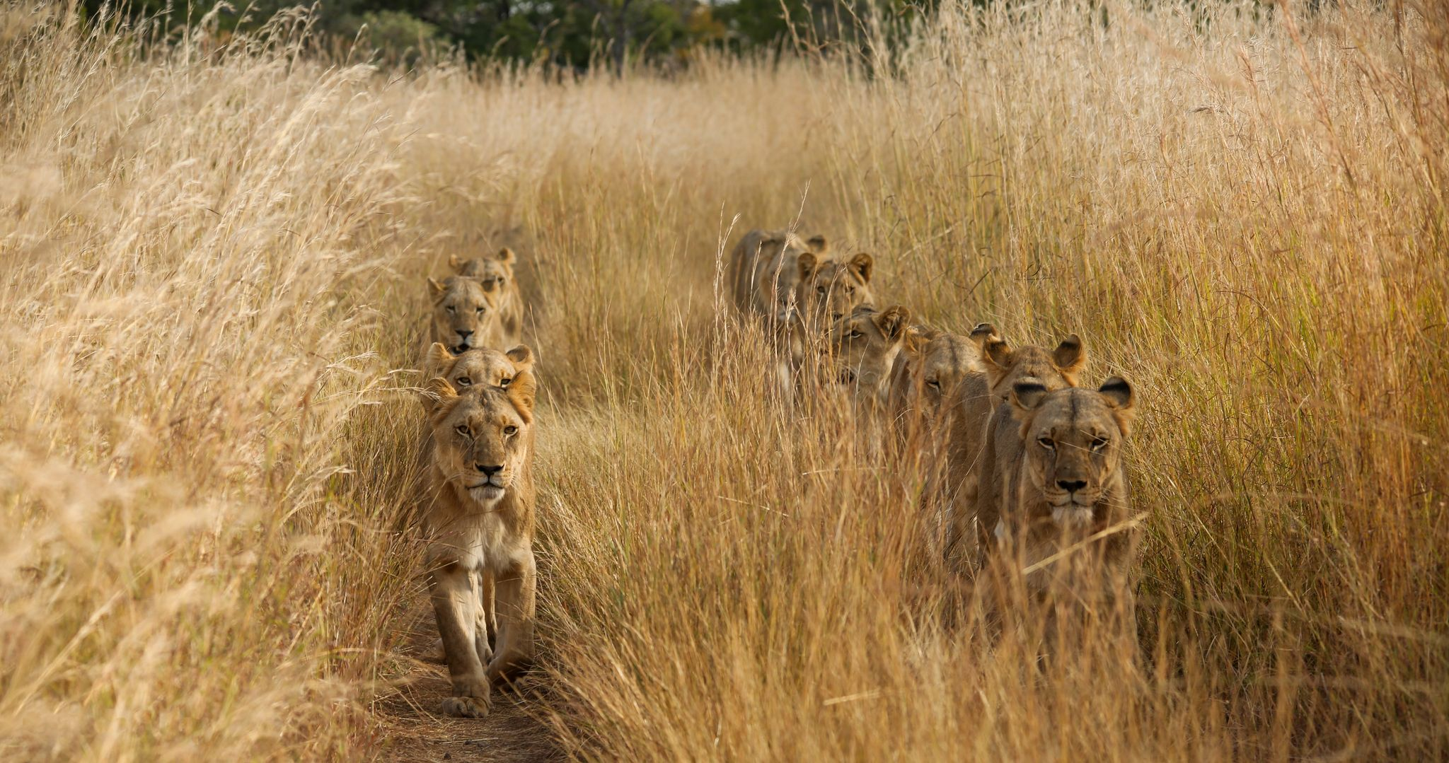 Lions in line