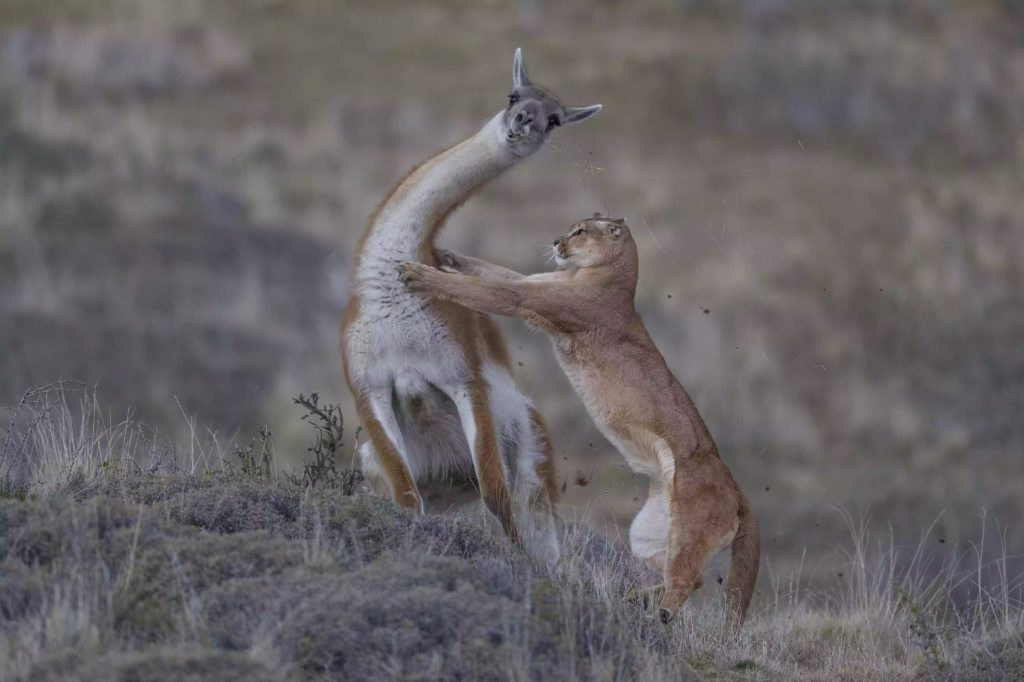 Puma attack, Torres del Paine, Chile