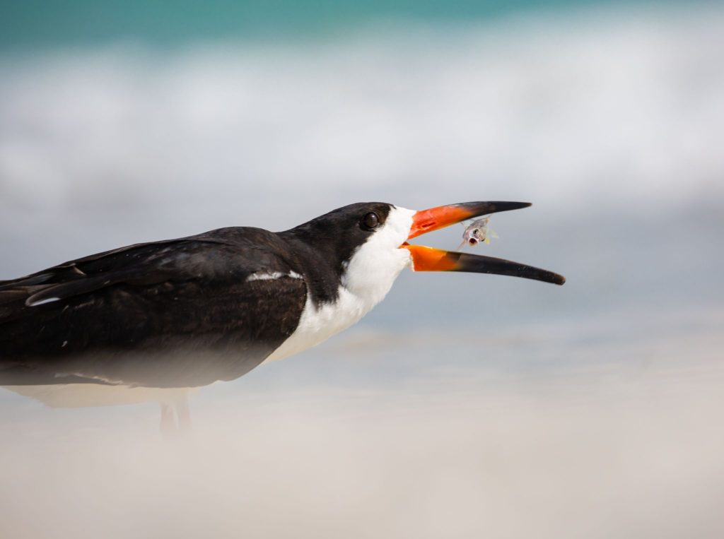 Black skimmer eating