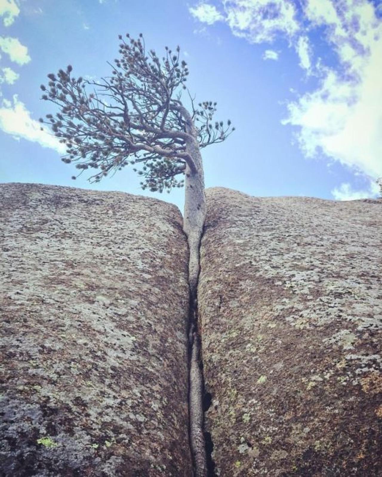 Resistant tree