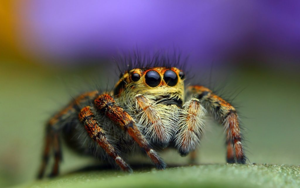 Bagheera Kiplingi spider