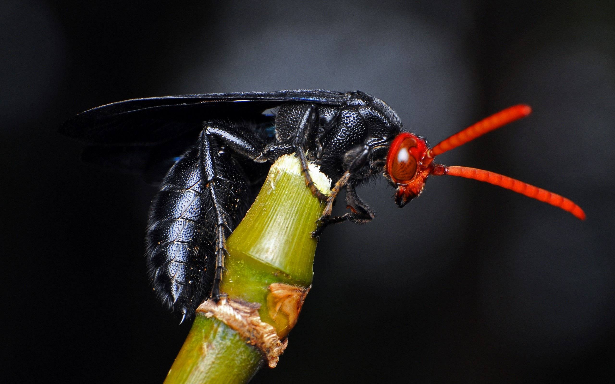 Black fly with red head