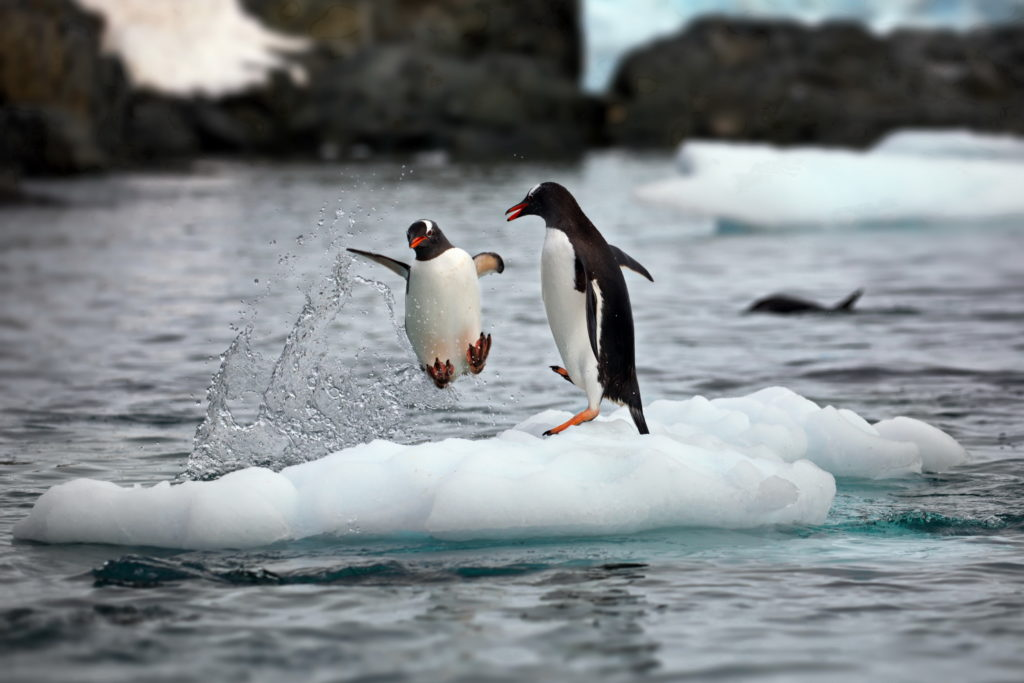 Penguin jumping out of the water