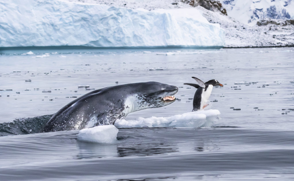 Leopard seal attack