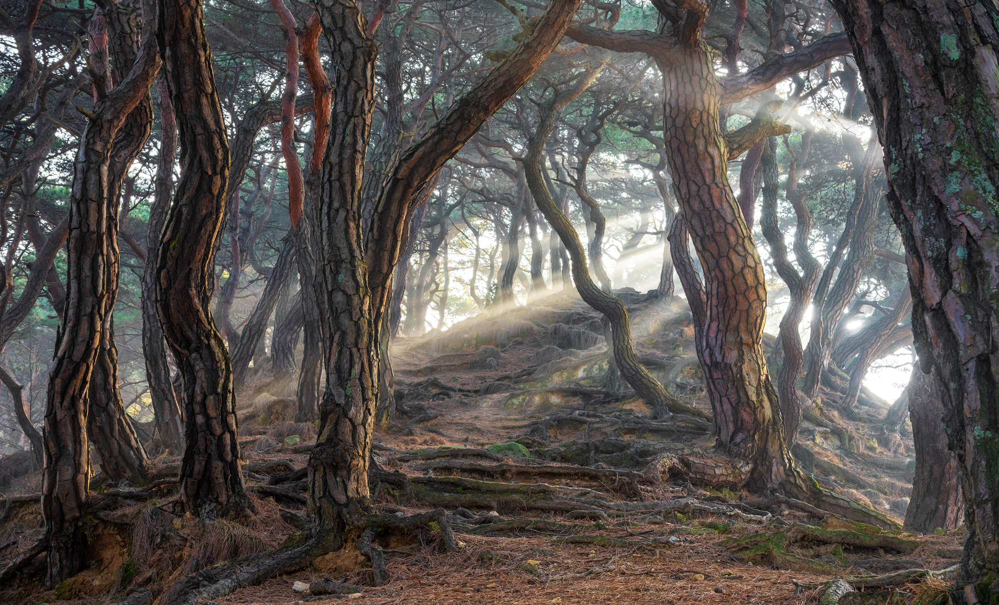Sacred pine forest, South Korea